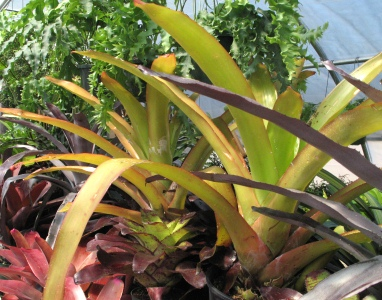 Bromeliad Aechmea blanchetiana in greenhouse