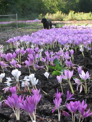 Colchicums in bloom at Daffodils & More